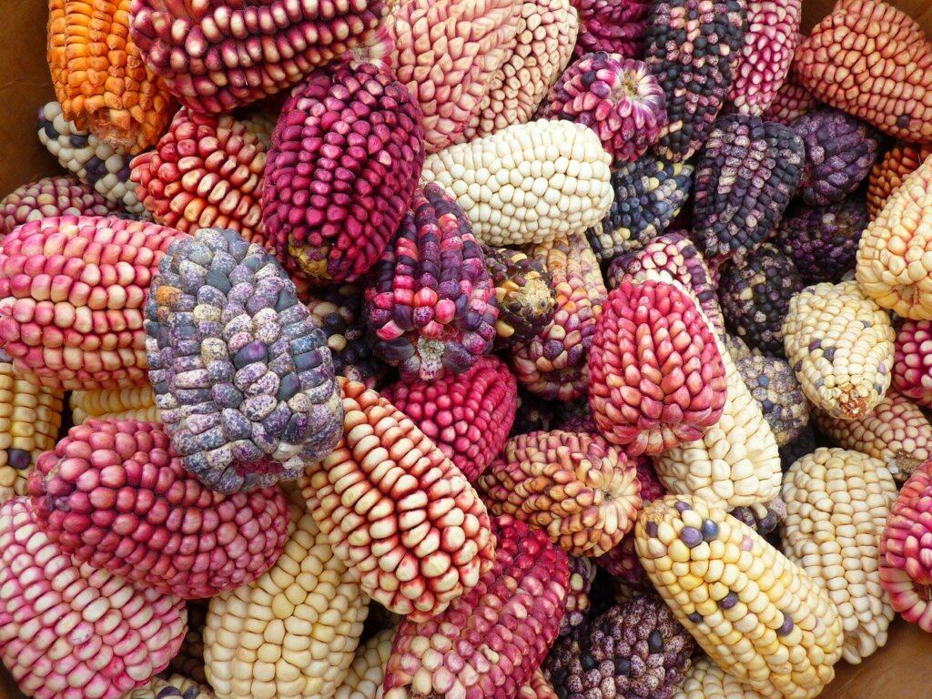 corn, colorful mais, maize varieties