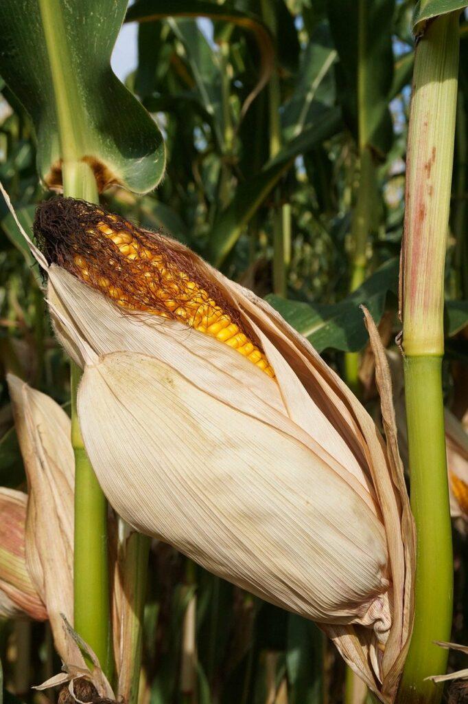 corn, cornfield, corn on the cob